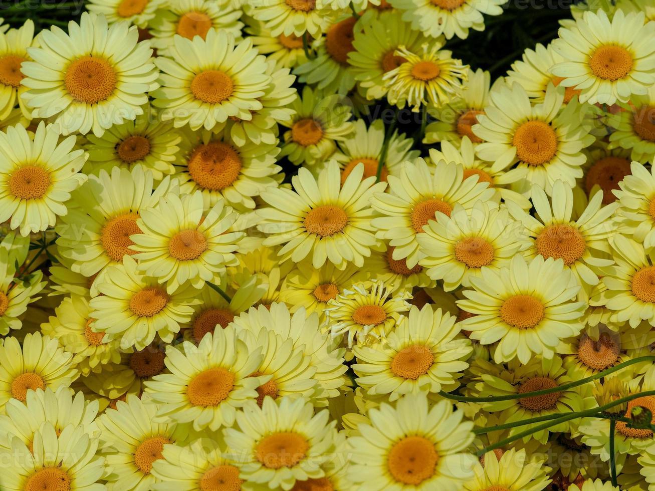 gele madeliefjebloemen foto