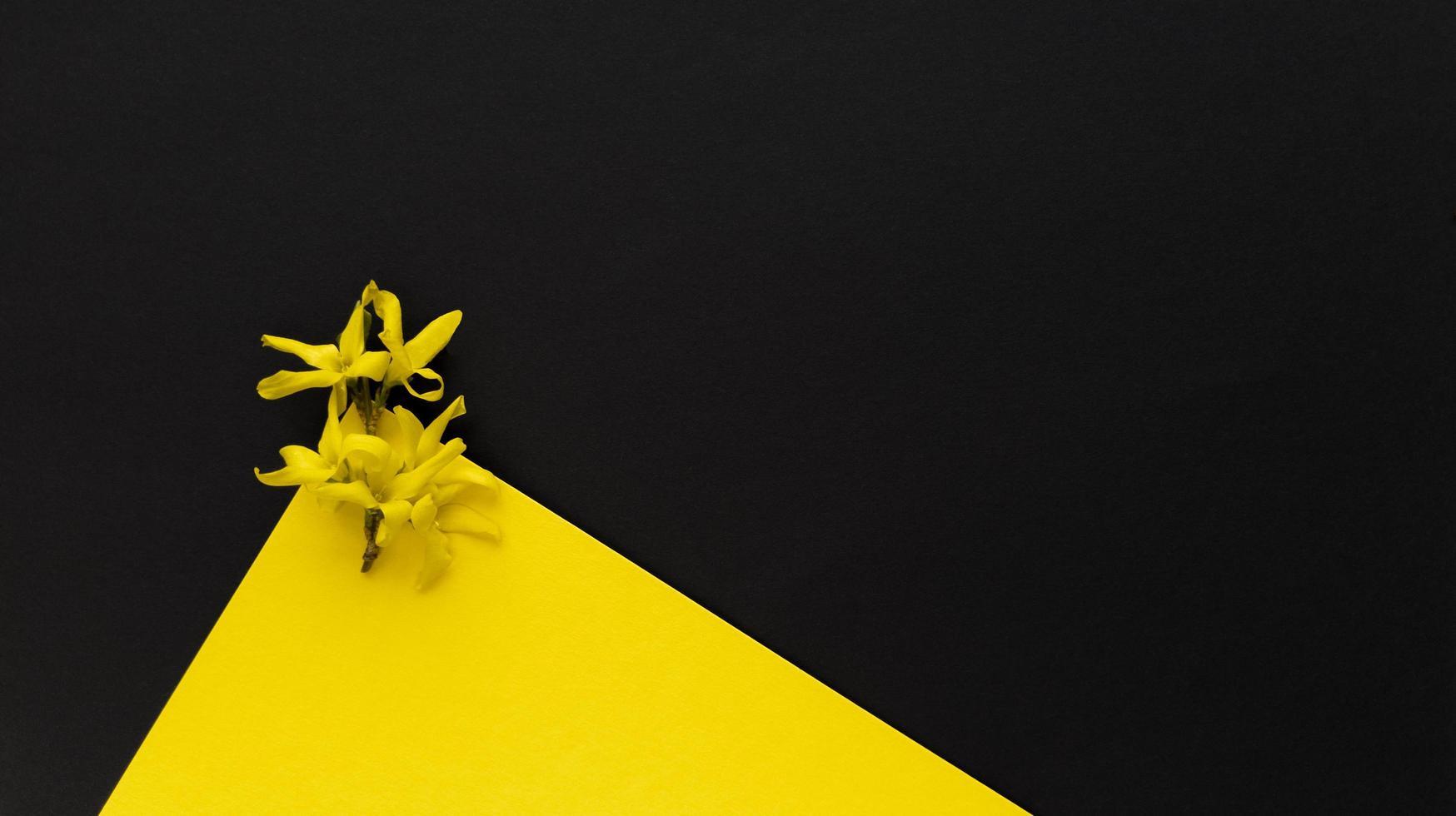 gele bloem forsythia maluch op gele en zwarte achtergrond. eenvoudig plat leggen met pastel textuur en driehoekige vorm. mode eco-concept. Stock foto. foto