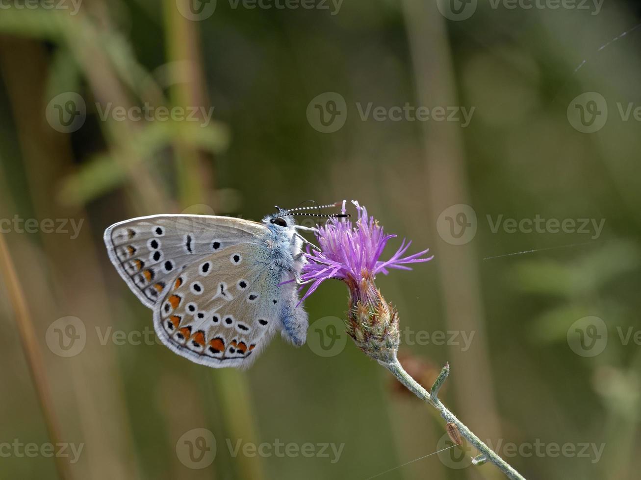 gemeenschappelijk blauw - polyommatus icarus, Griekenland foto