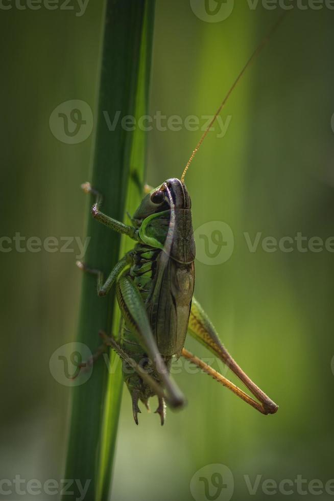 grote groene sprinkhaan in zonlicht foto