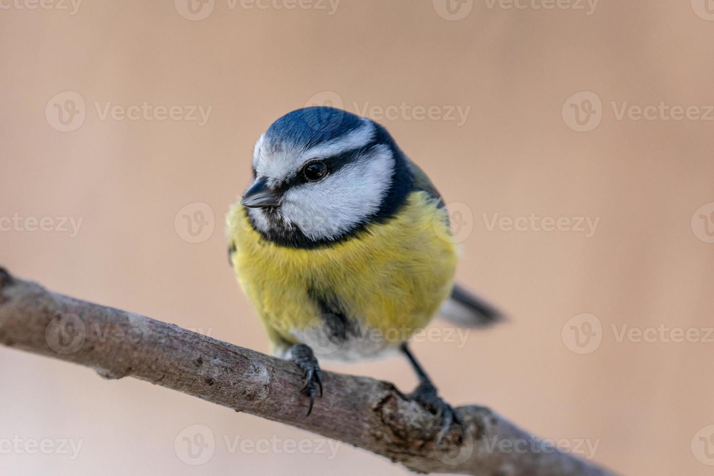 close-up van een blauwe en gele meesvogel op een tak foto