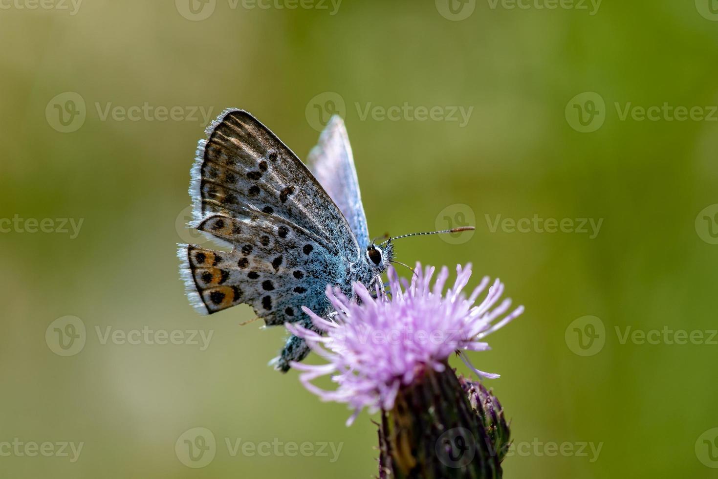 close-up van een met zilver bezaaide blauwe vleugel vlinder foto