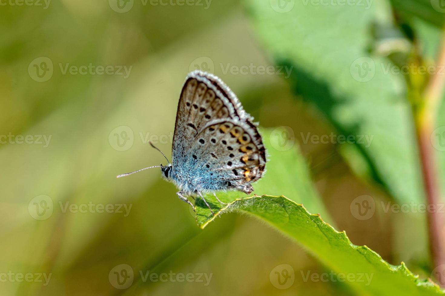 blauwe gevleugelde vlinder foto