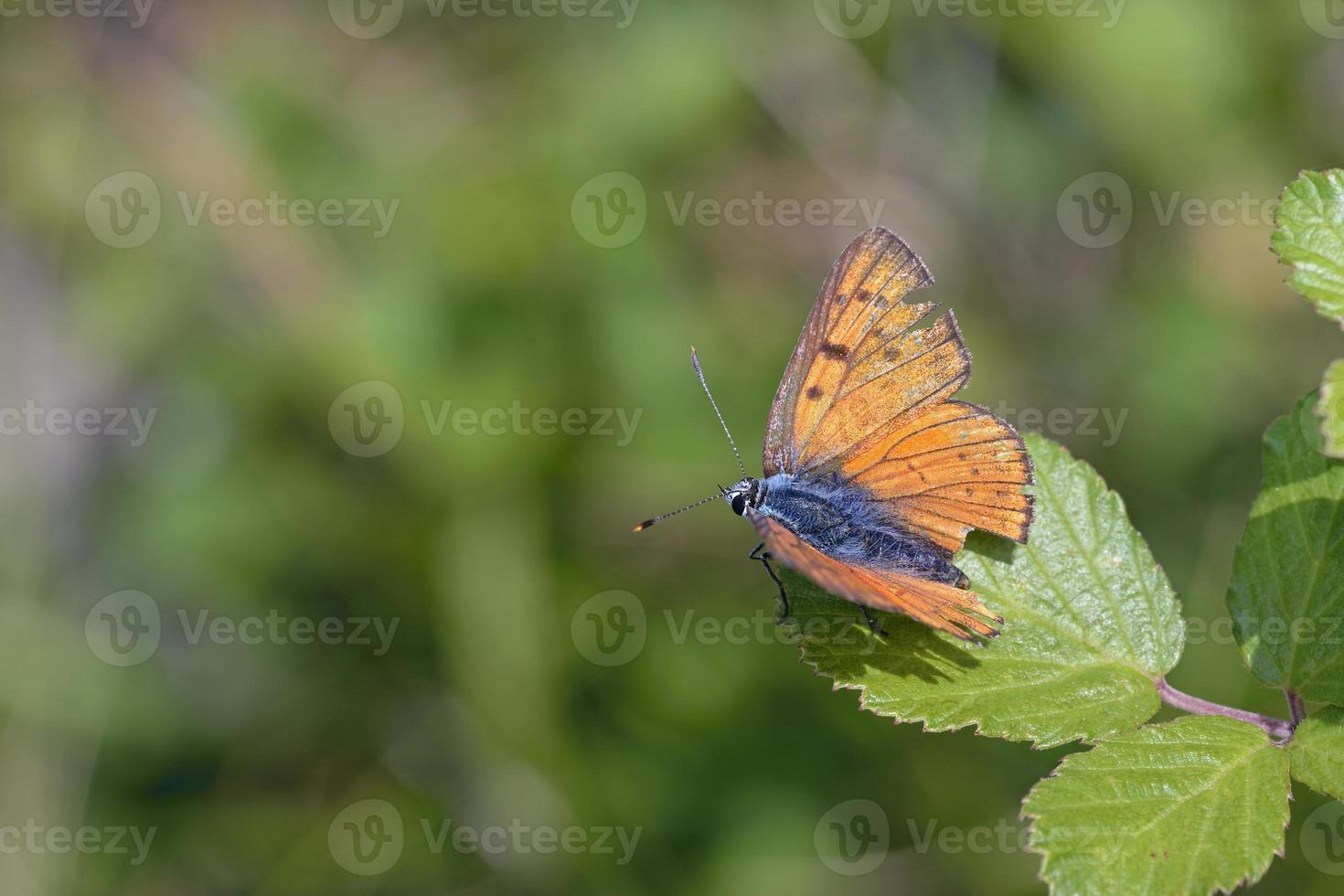 paars geschoten koper - lycaena alciphron, griekenland foto