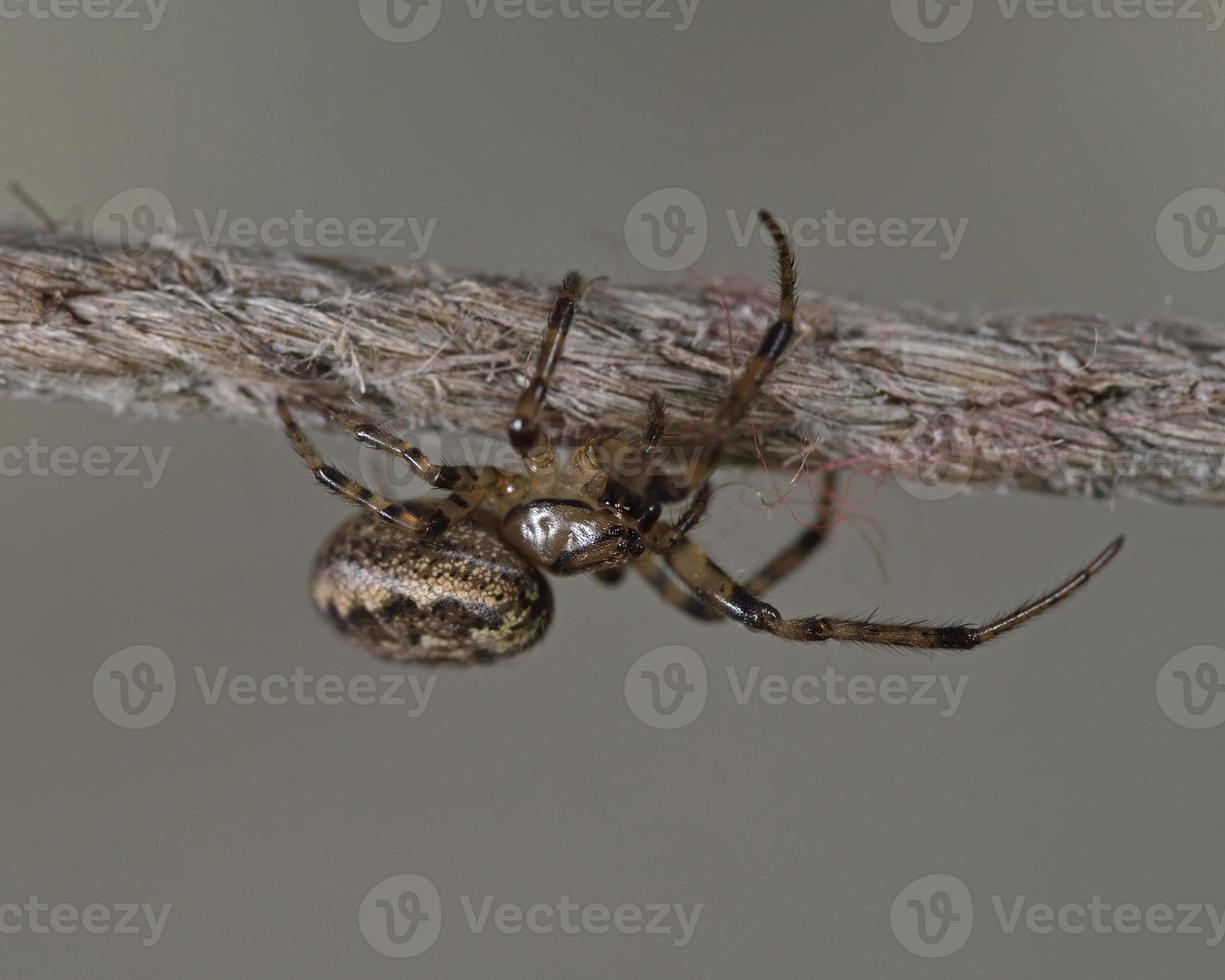 de walnoot orb-weverspin - nuctenea umbratica is een spin van de familie Araneidae, Griekenland foto