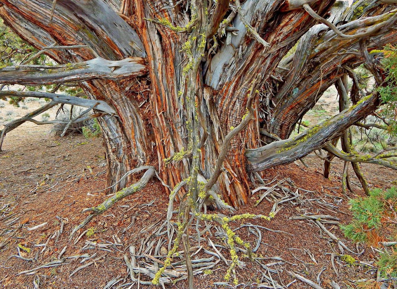 oude jeneverbes - ten oosten van Redmond, of foto