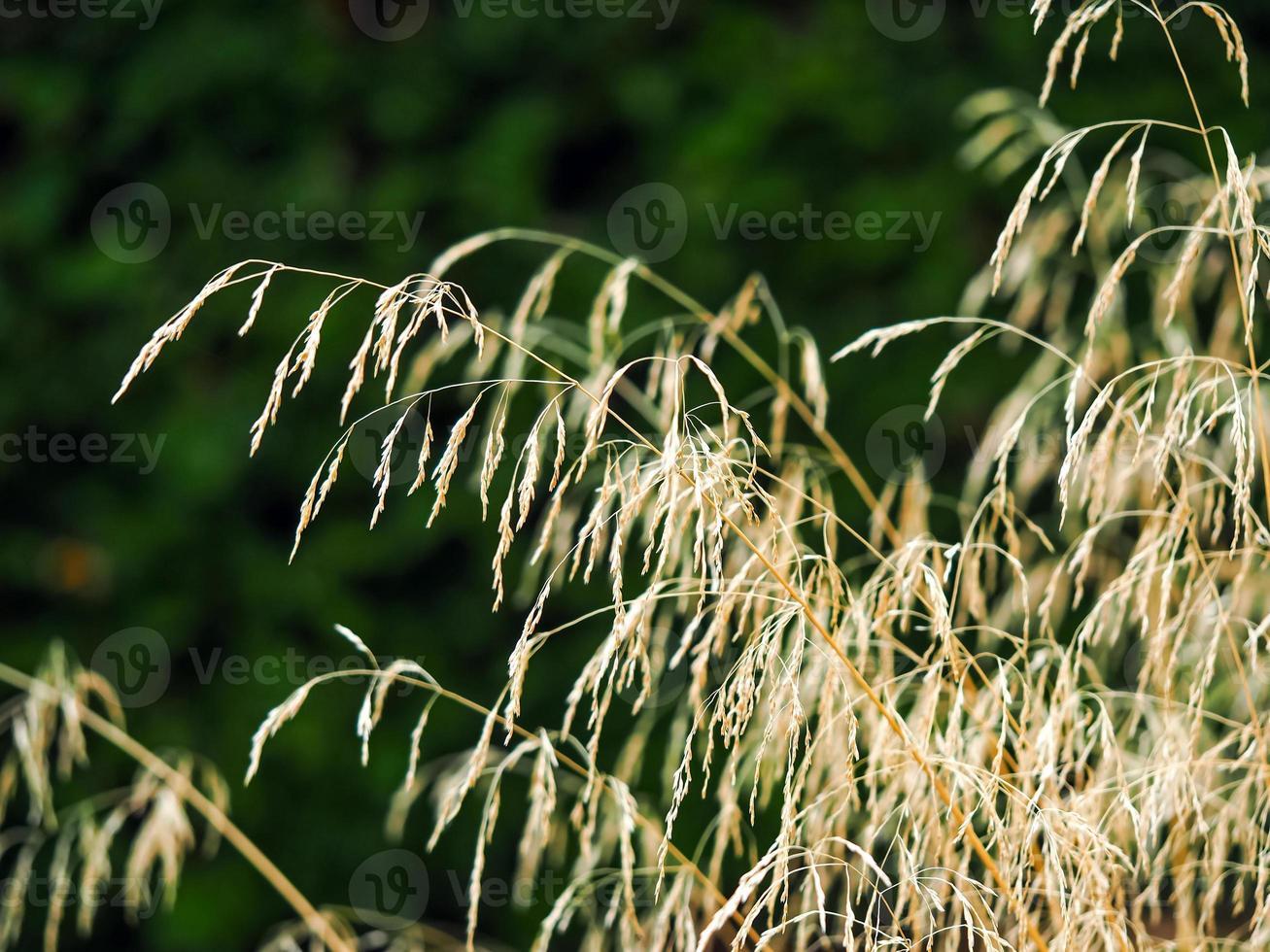 siergras dat zonlicht opvangt in een tuin foto
