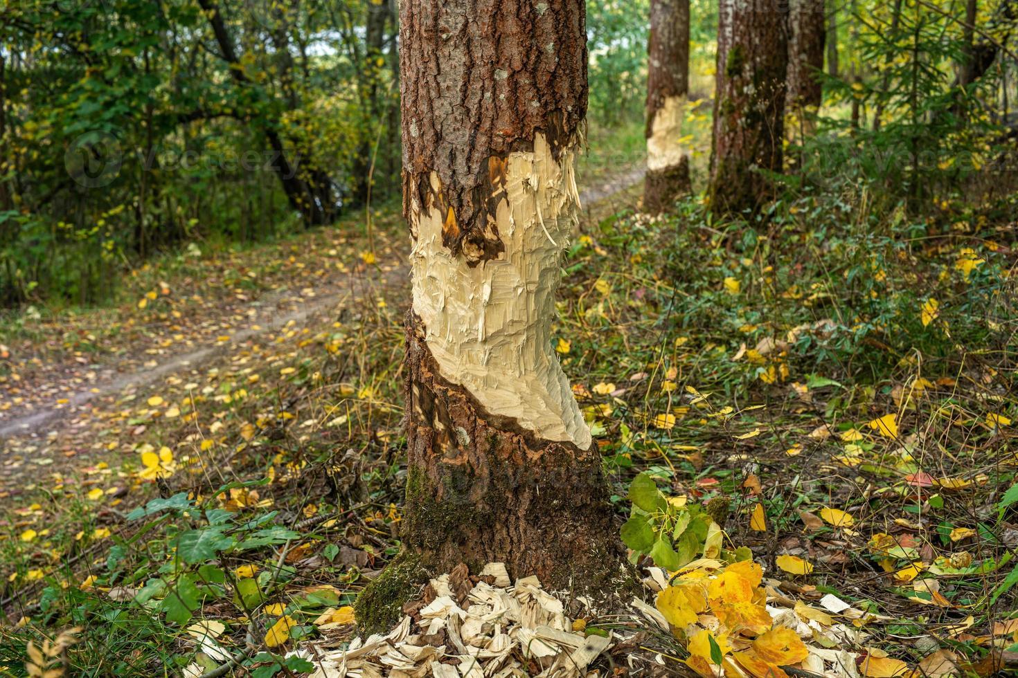 bomen beschadigd door bevers foto