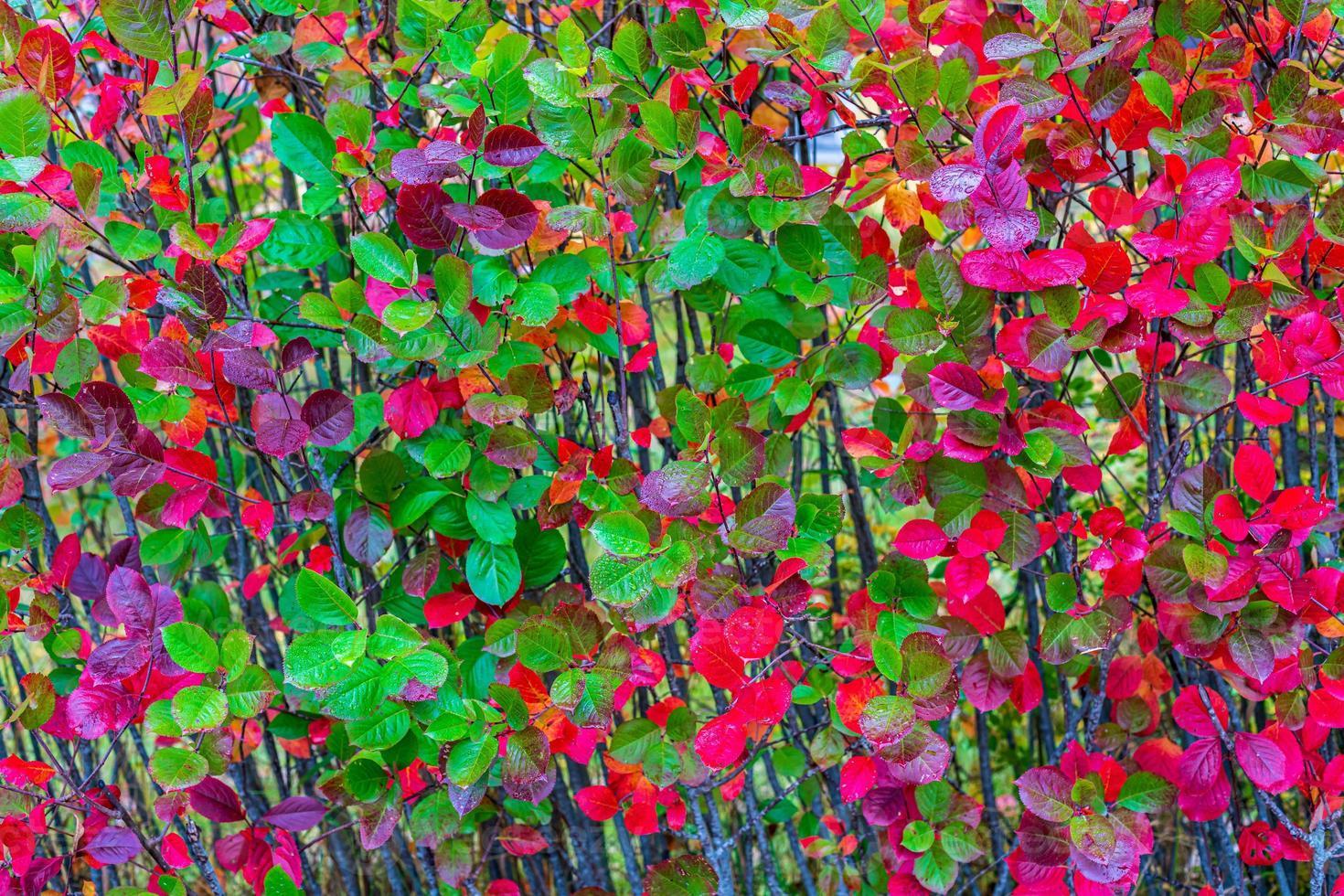 rood en groen herfstkleurig blad foto