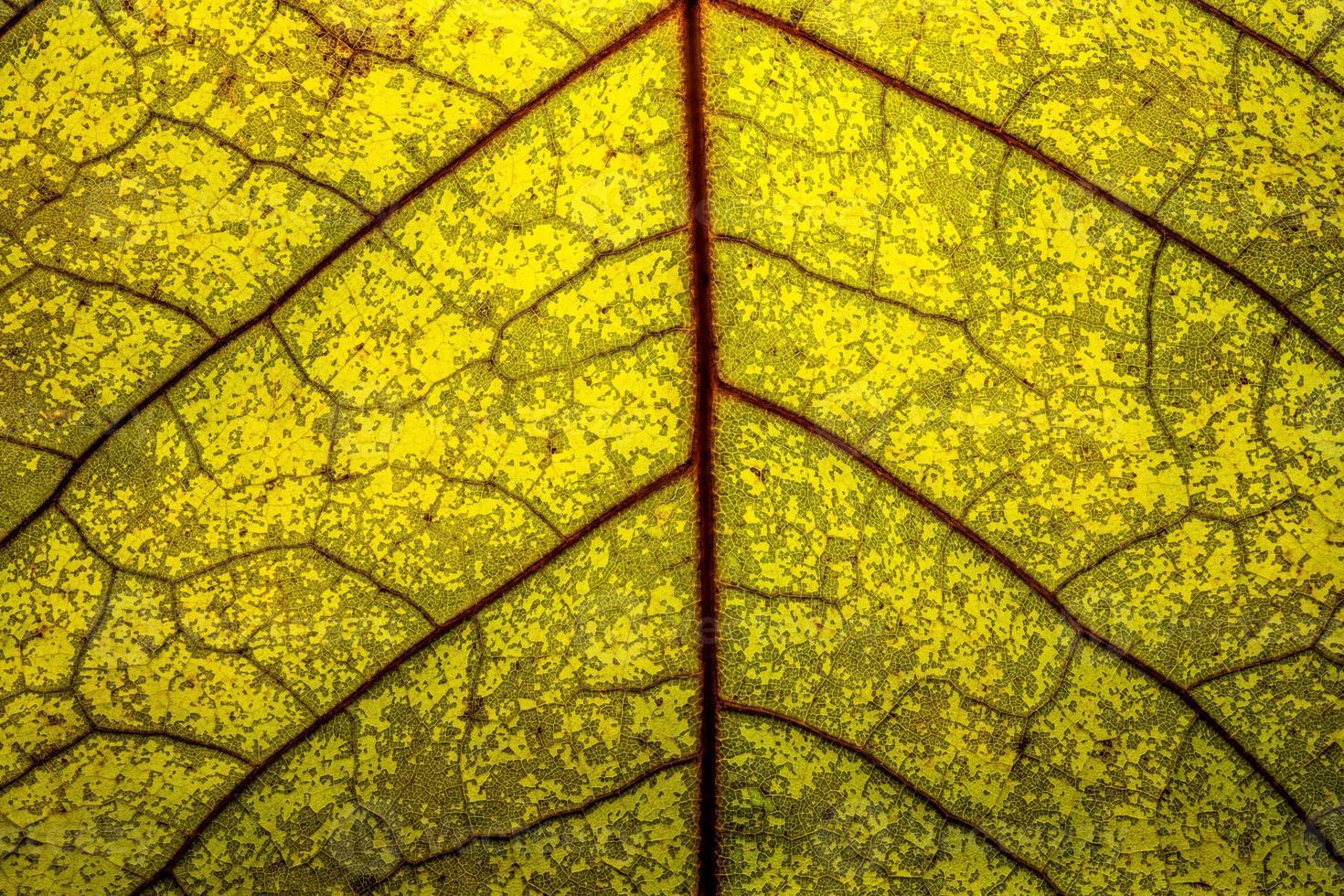 close-up van een geel blad met rode nerven foto