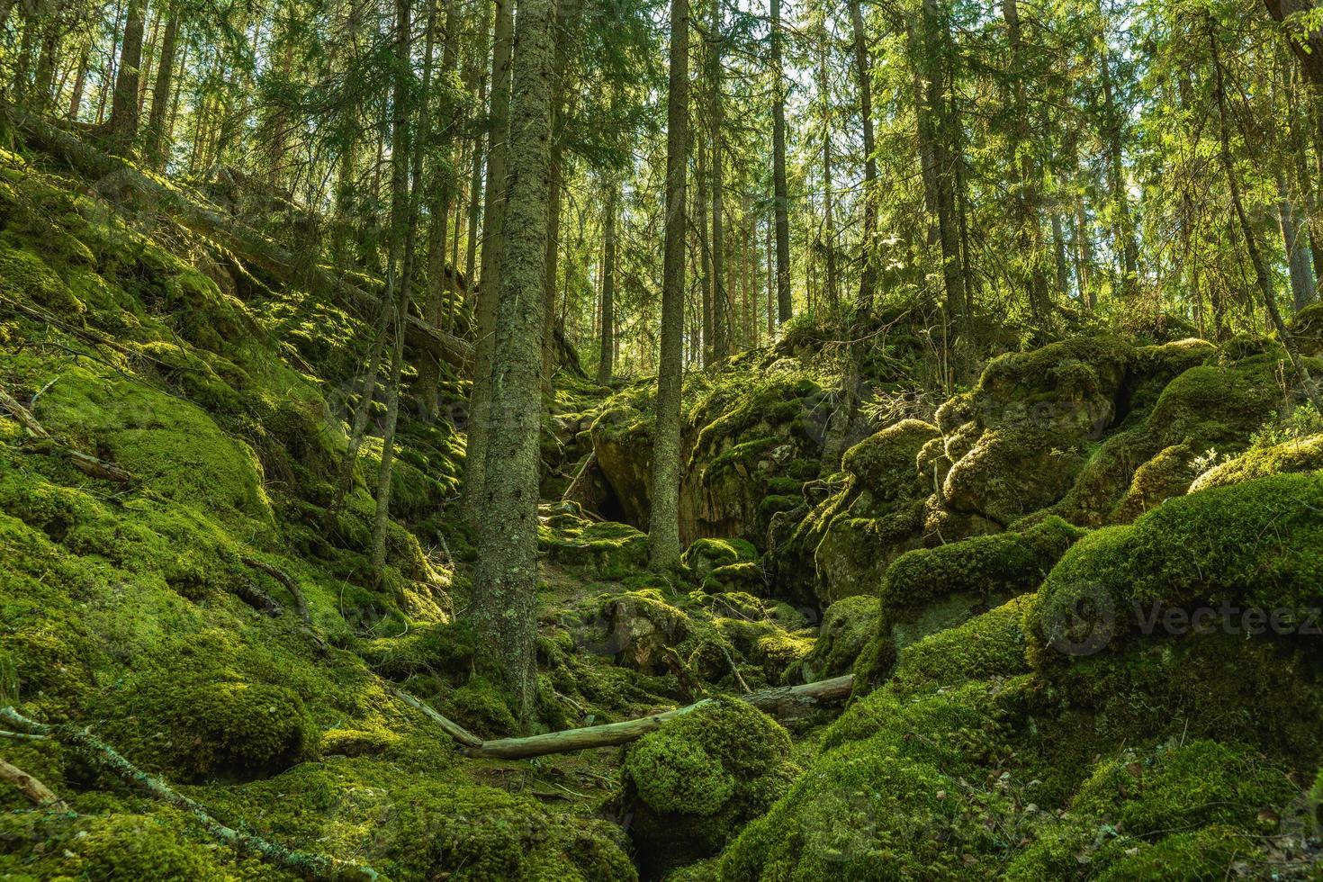 wild gegroeid bos op een met mos bedekte berghelling in Zweden foto