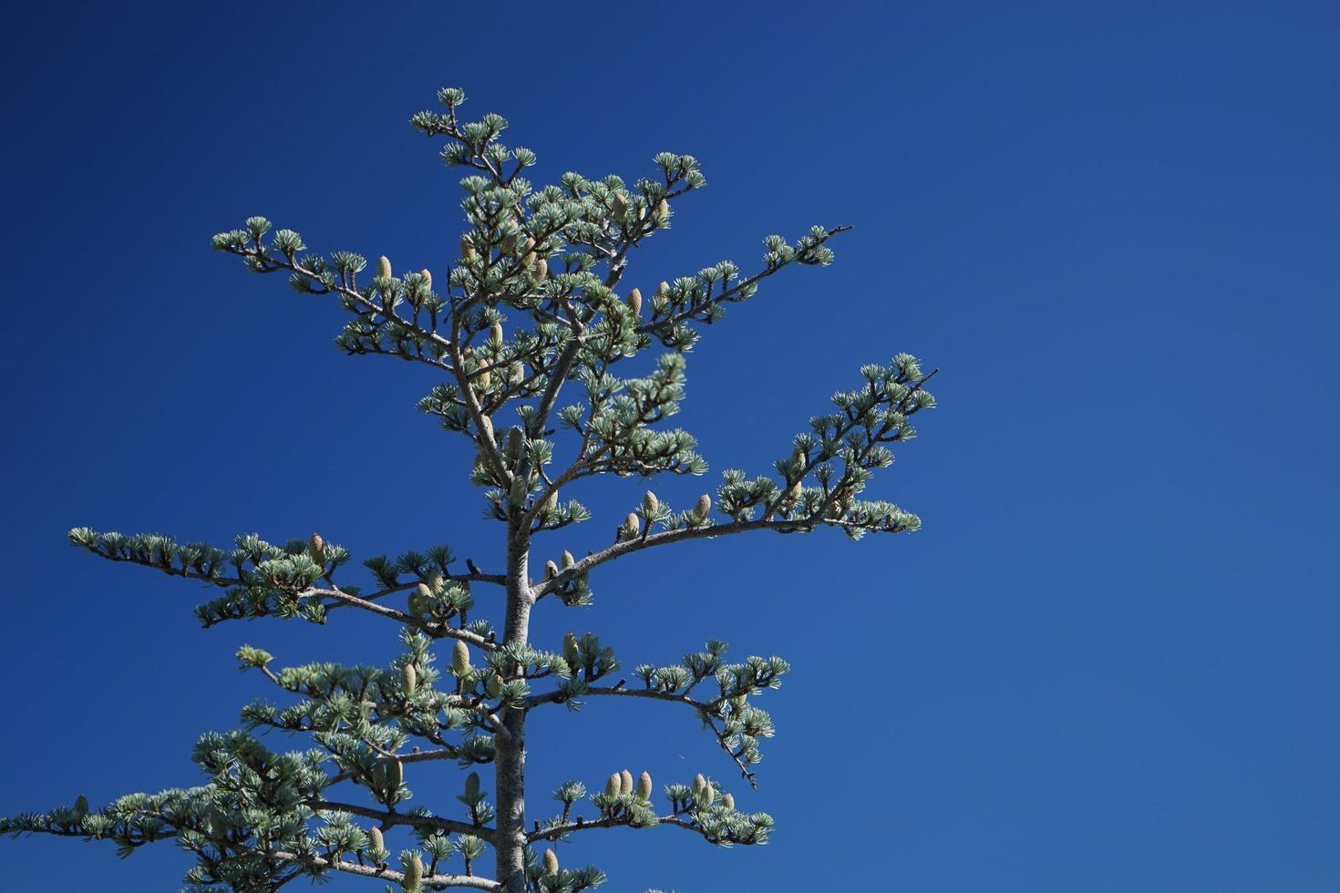 cedrus atlantica boom op de achtergrond van de blauwe hemel foto
