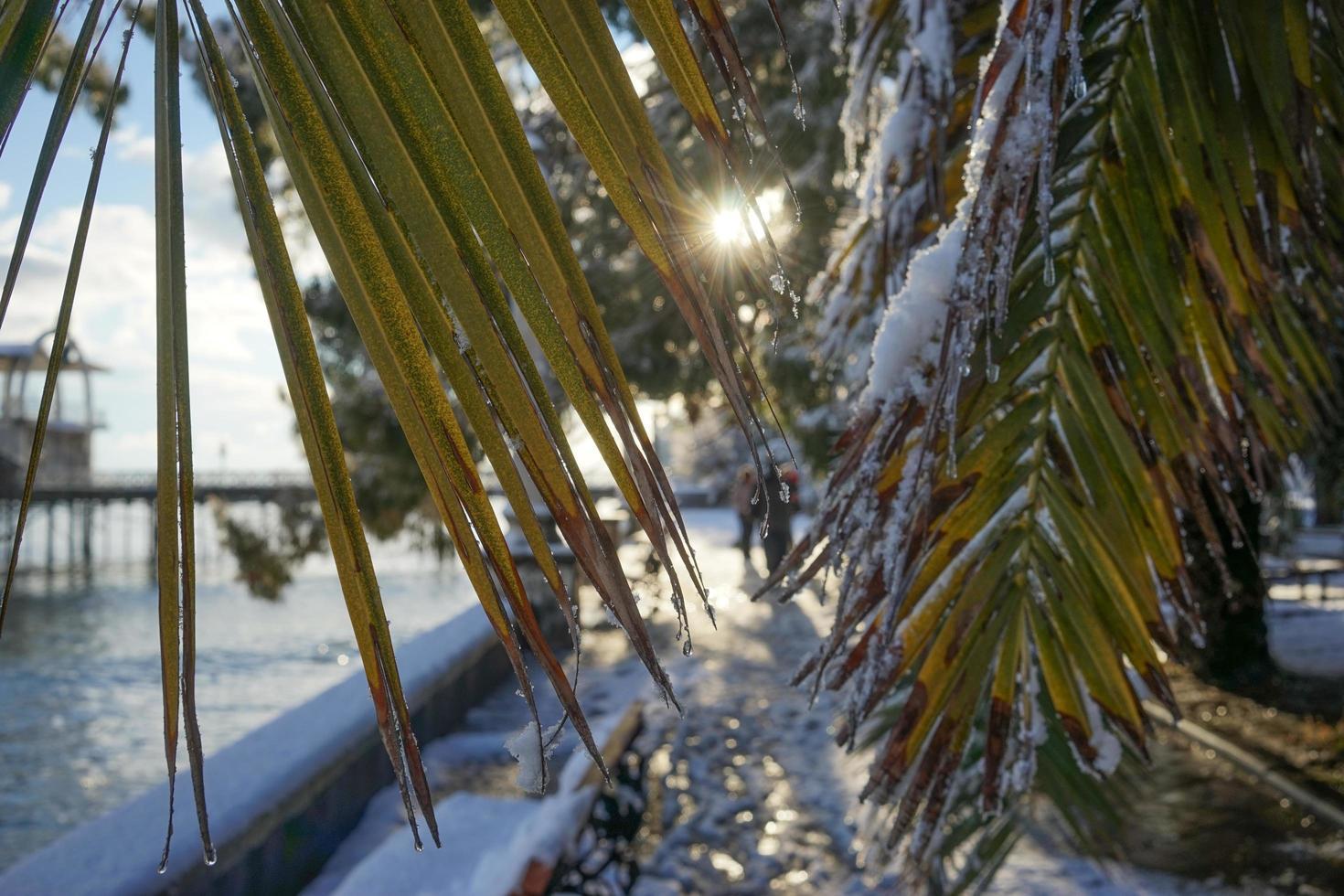 de bladeren van de waaierpalm washingtonia met waterdruppels foto