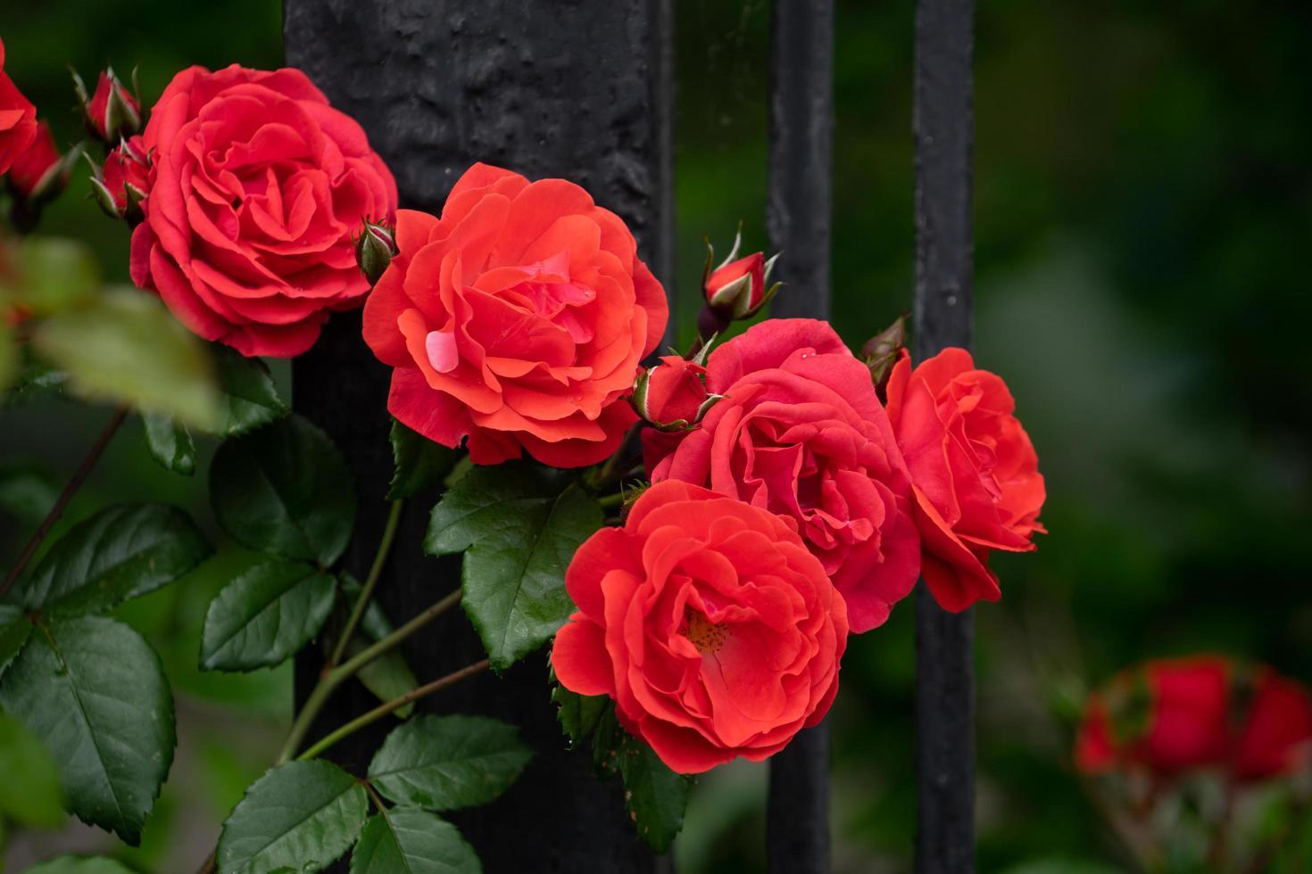 rode rozen op een struik in een tuin foto