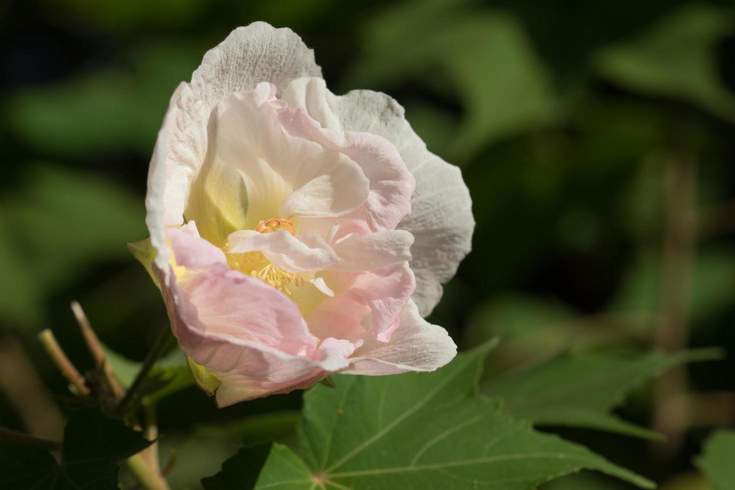 roze crème grote bloem van hibiscus foto