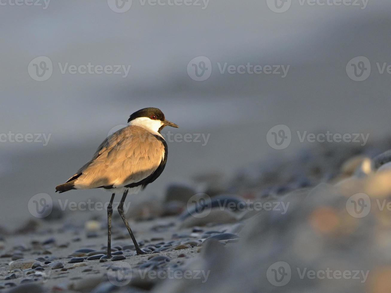 kievit vogel foto