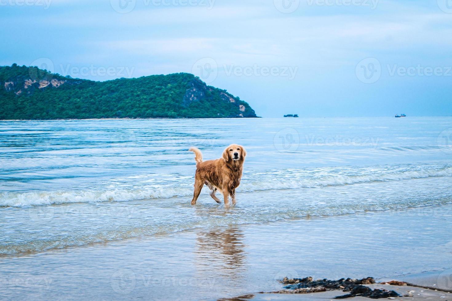 golden retriever hond ontspannen foto