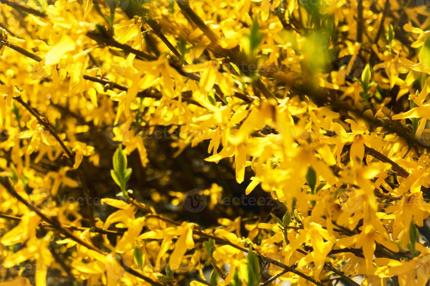 gele forsythia-haag in bloei met enorme bloemendichtheid foto