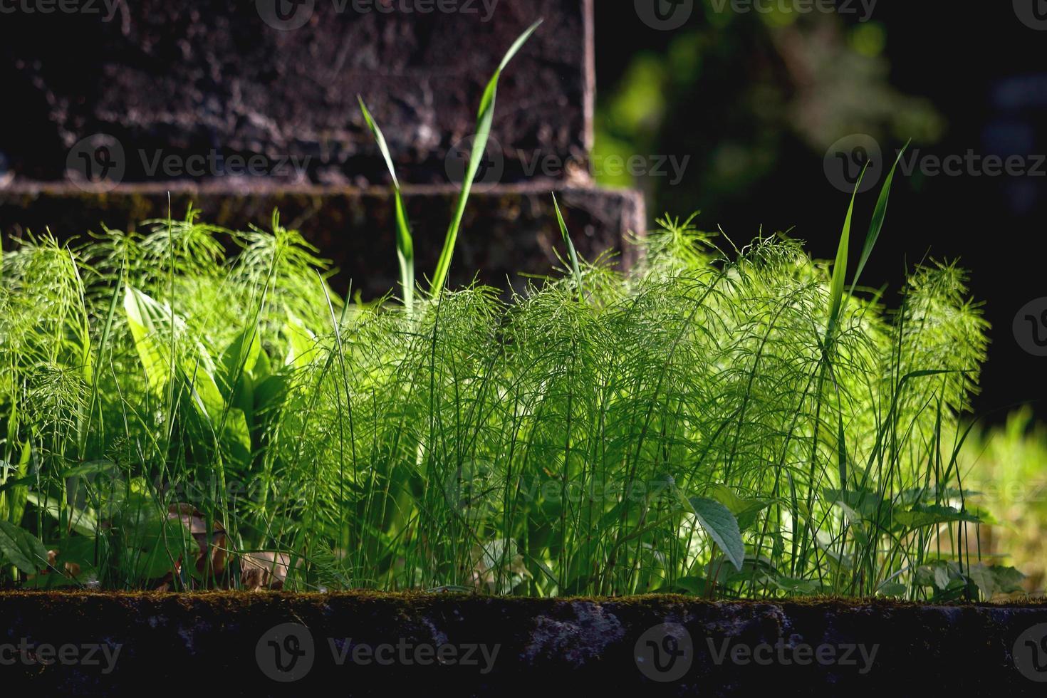 groene veld paardestaart wiet in de buurt van grafsteen foto
