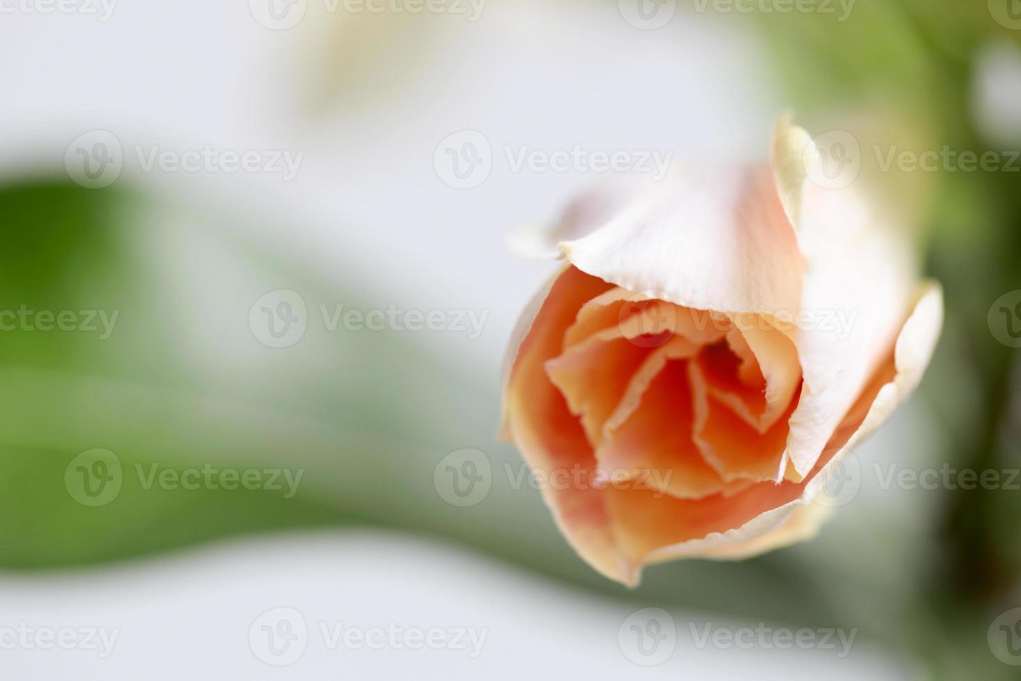 woestijnrozen bloem foto