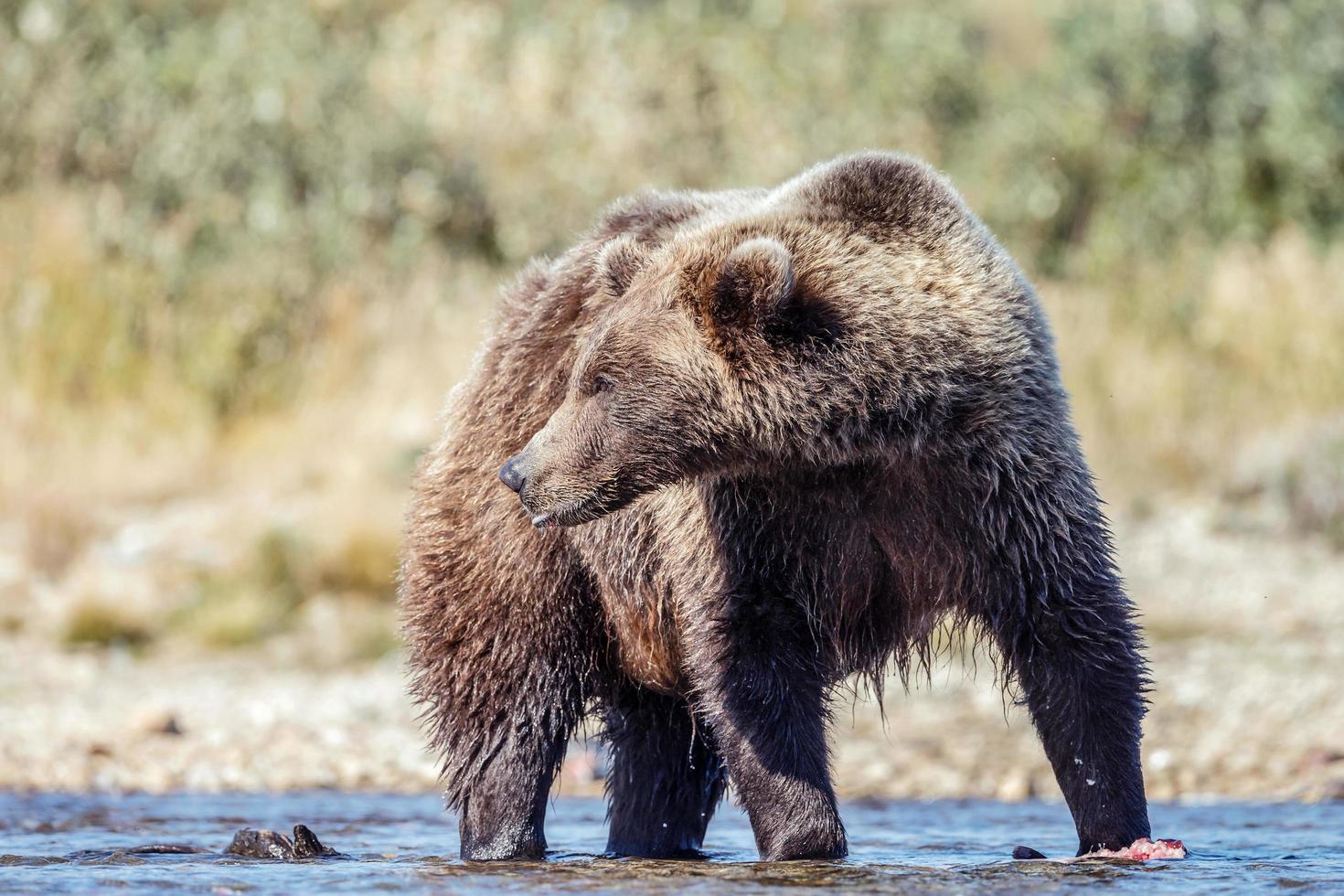 grizzle beer in de natuur van alaska foto