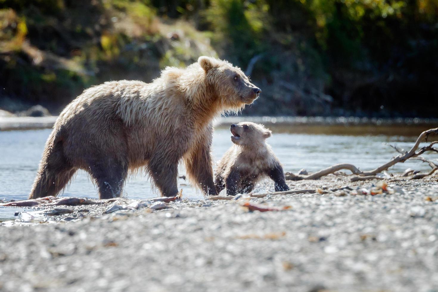 grizzlybeer in de natuur van alaska foto