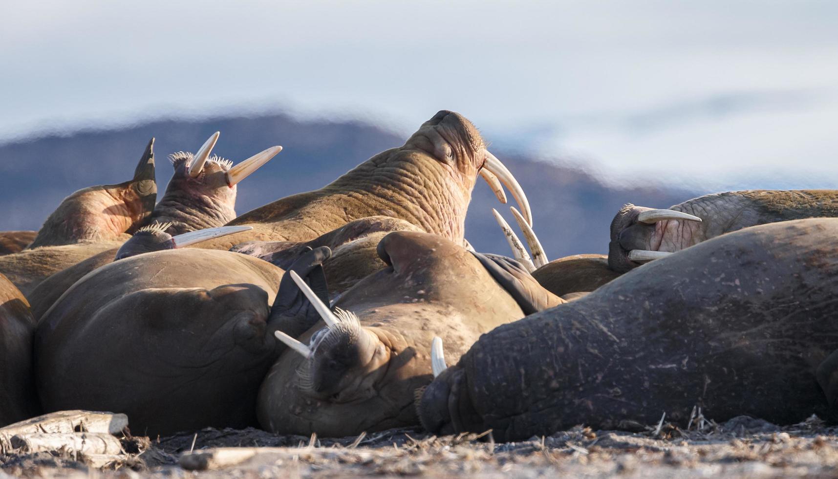 walrus in het noorden van de wereld op spitsbergen. foto