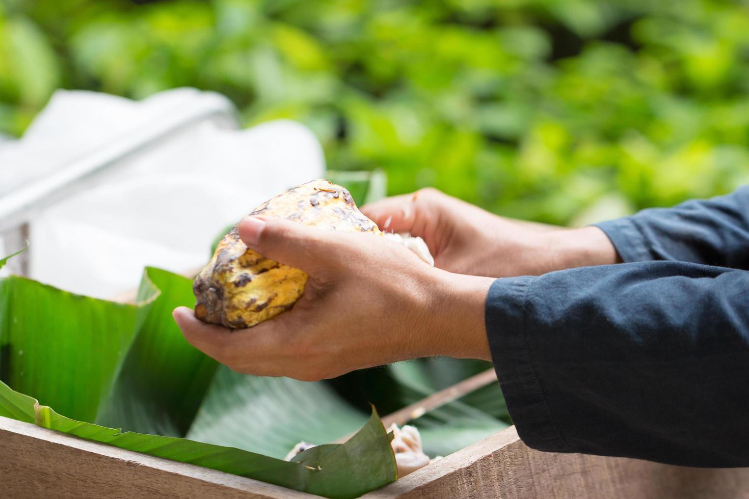 verse cacaobonen in de hand van een boer foto