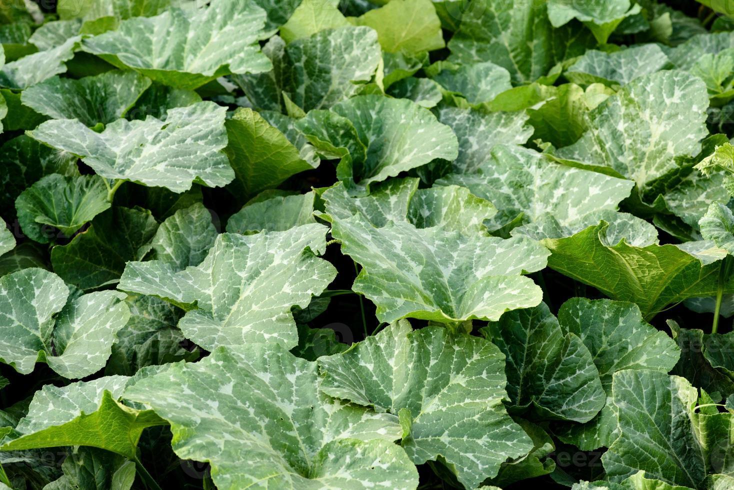 groene heldere bladeren van pompoenstruik op een huisperceel foto