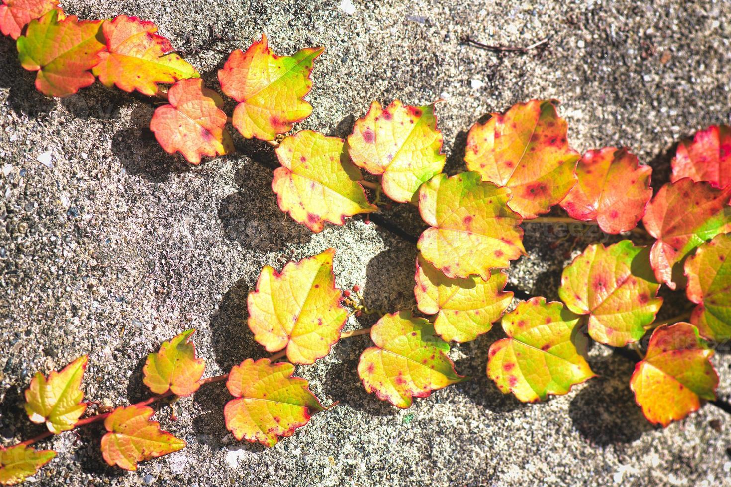 kleine gele en rode klimopblaadjes aan de muur foto
