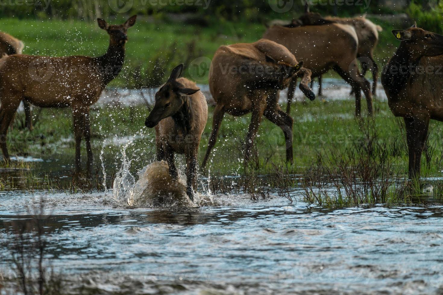 elanden spetteren in de rivier foto