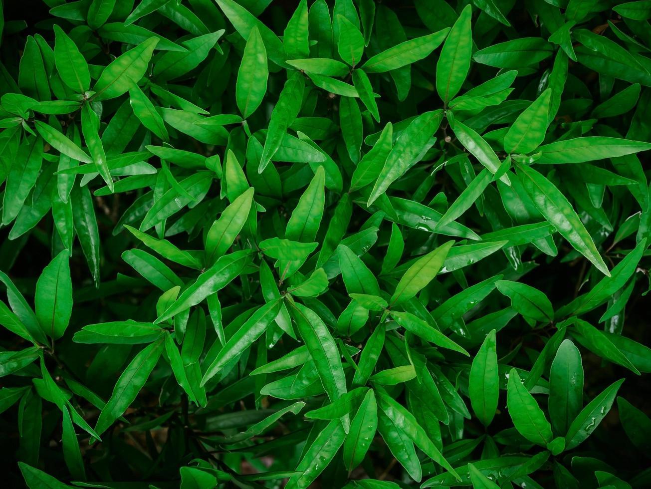 groene lavas van plant, abstracte achtergrond textuur concepten. foto