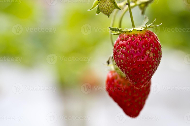 aardbeien op de boerderij foto