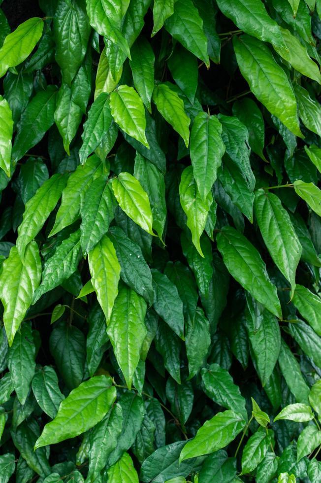 blad achtergrond klimop groen foto
