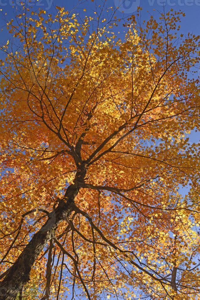 omhoog kijken naar een esdoorn in volle herfstkleuren foto