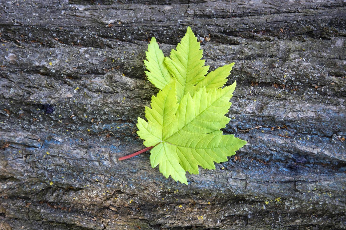 gebladerte op de achtergrond van de schors van een oude boom foto