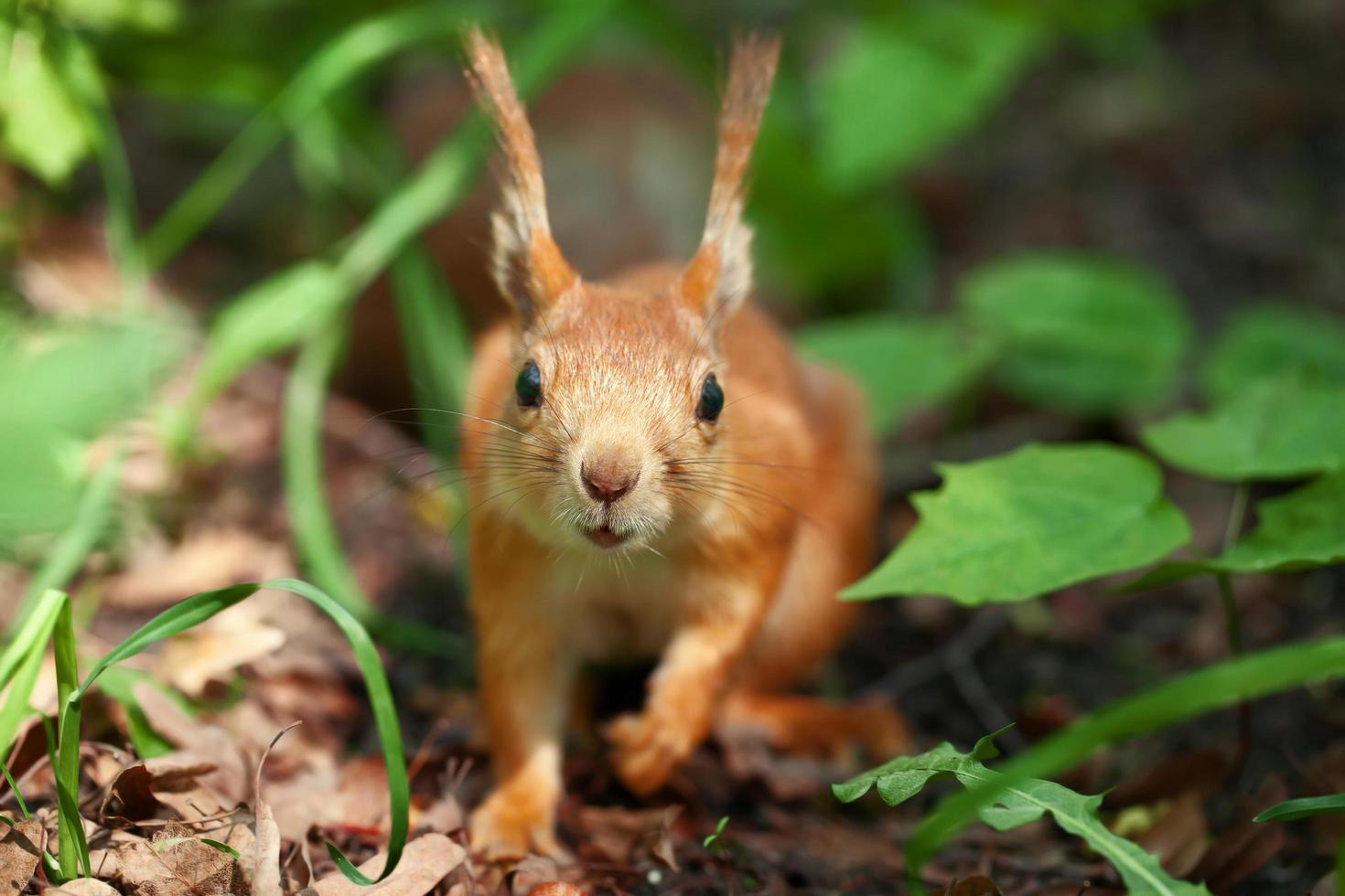 portret van een eekhoorn foto