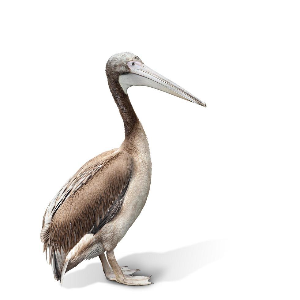 baby vogel van een pelikaan foto