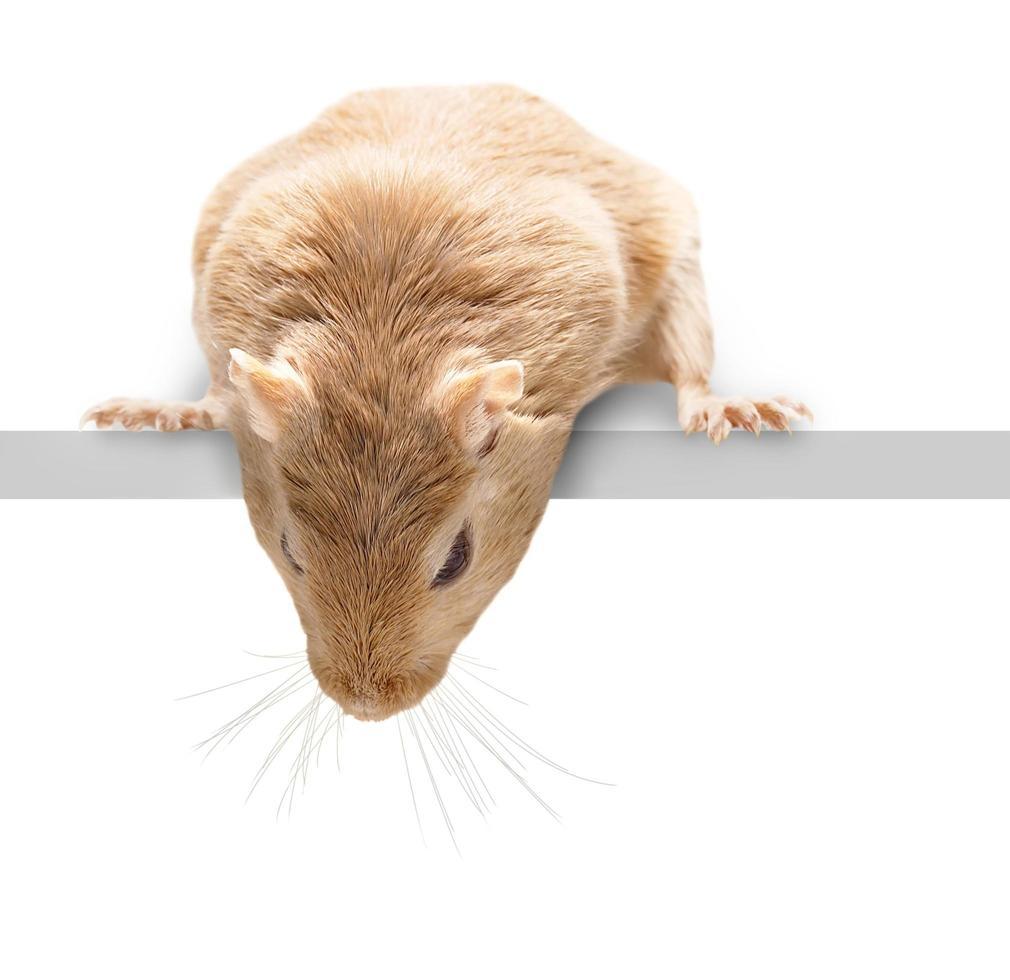 pluizige muis die naar beneden kijkt foto
