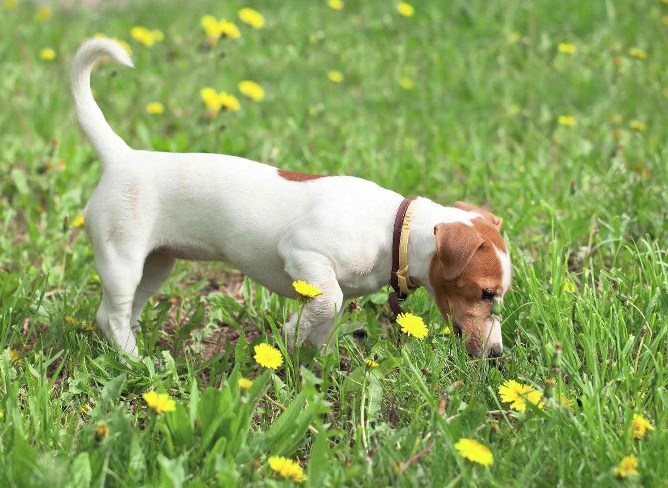 puppy loopt op een weide foto