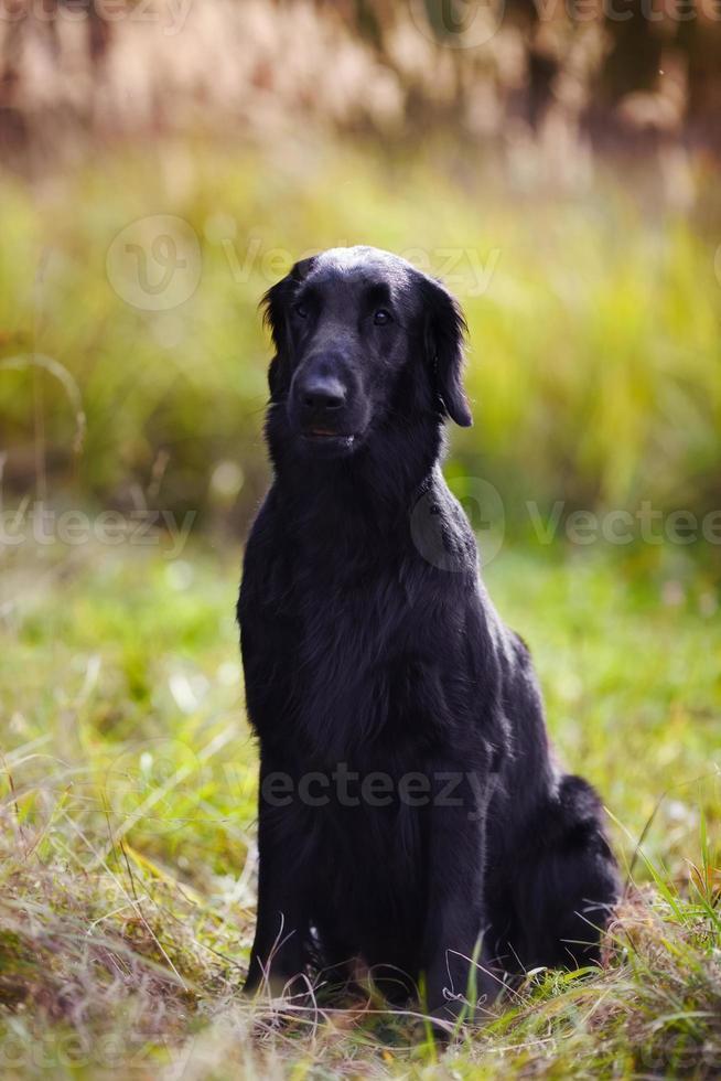 zwarte retriever zit in hoog gras in de herfst foto