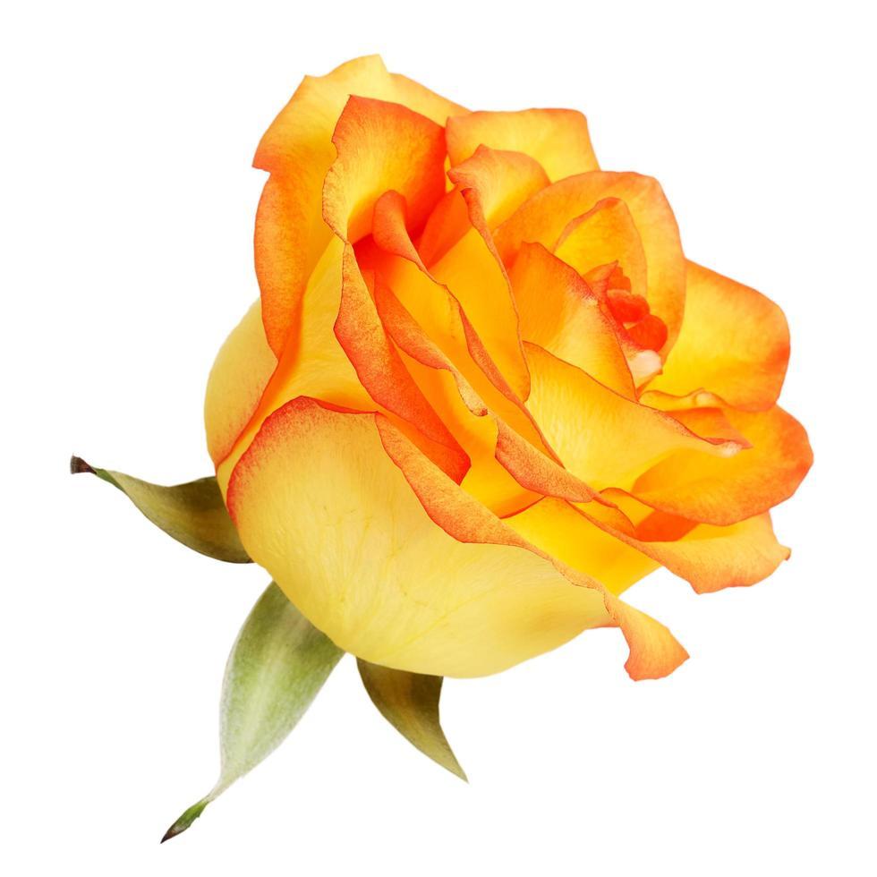 knop gele rozen op een witte achtergrond foto