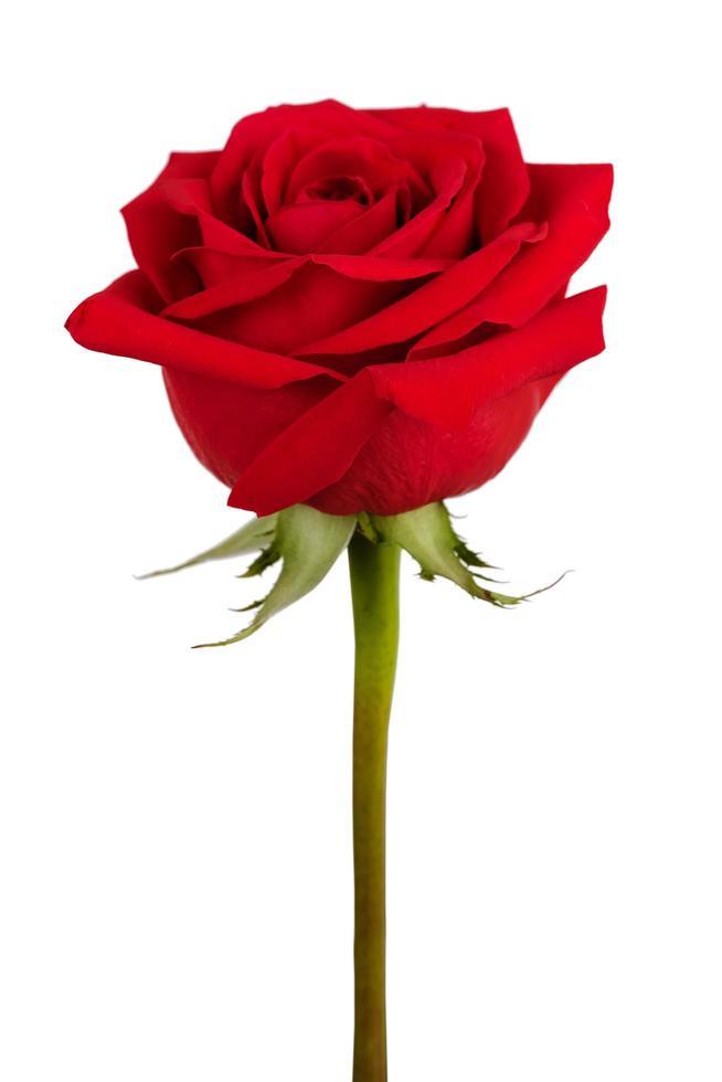 knop van rode roos foto