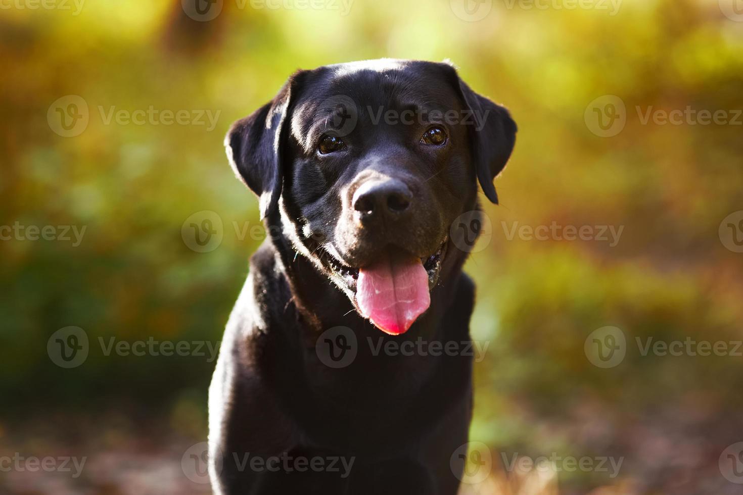 zwarte labrador zitten en kijken naar de camera foto