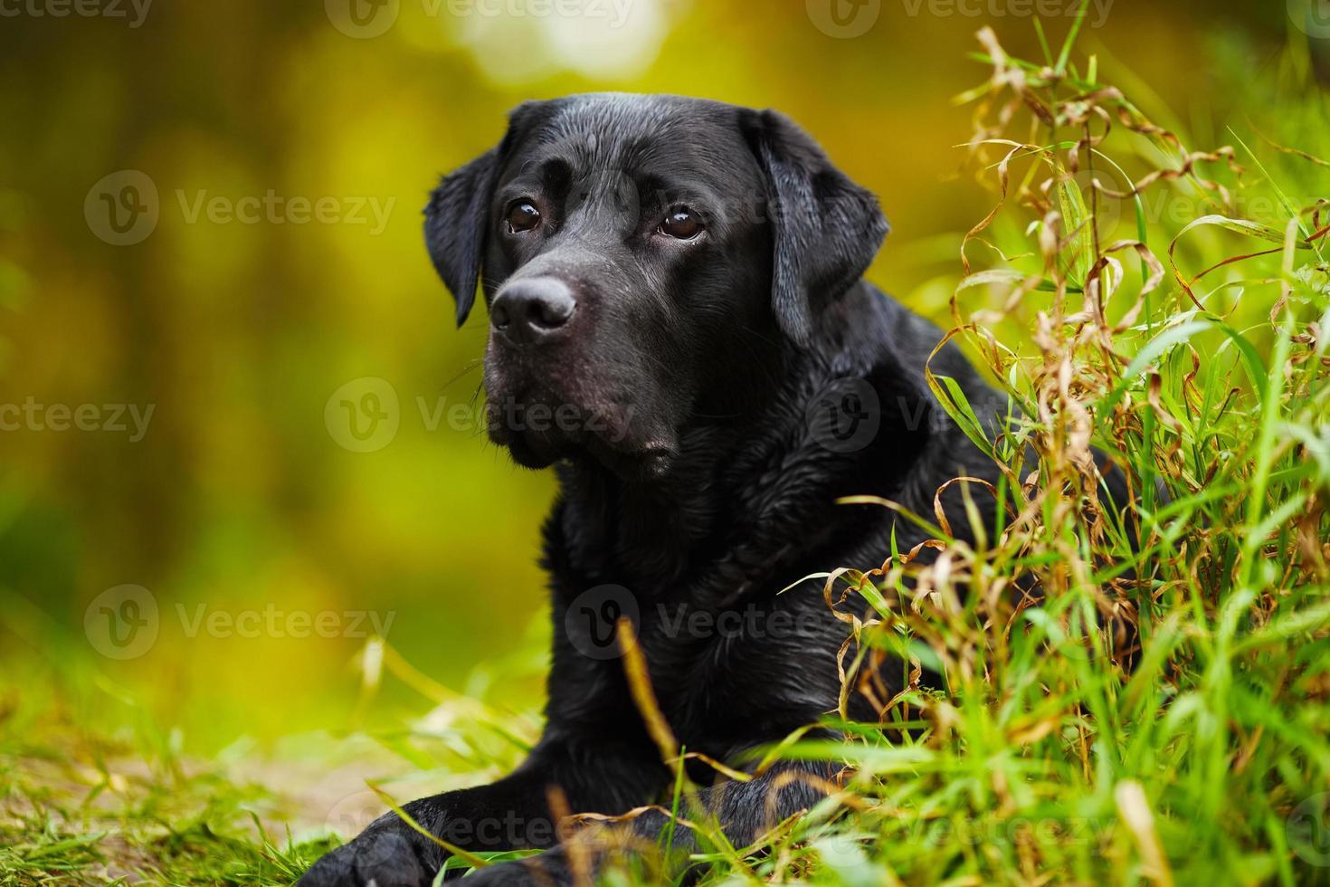 zwarte natte labrador foto