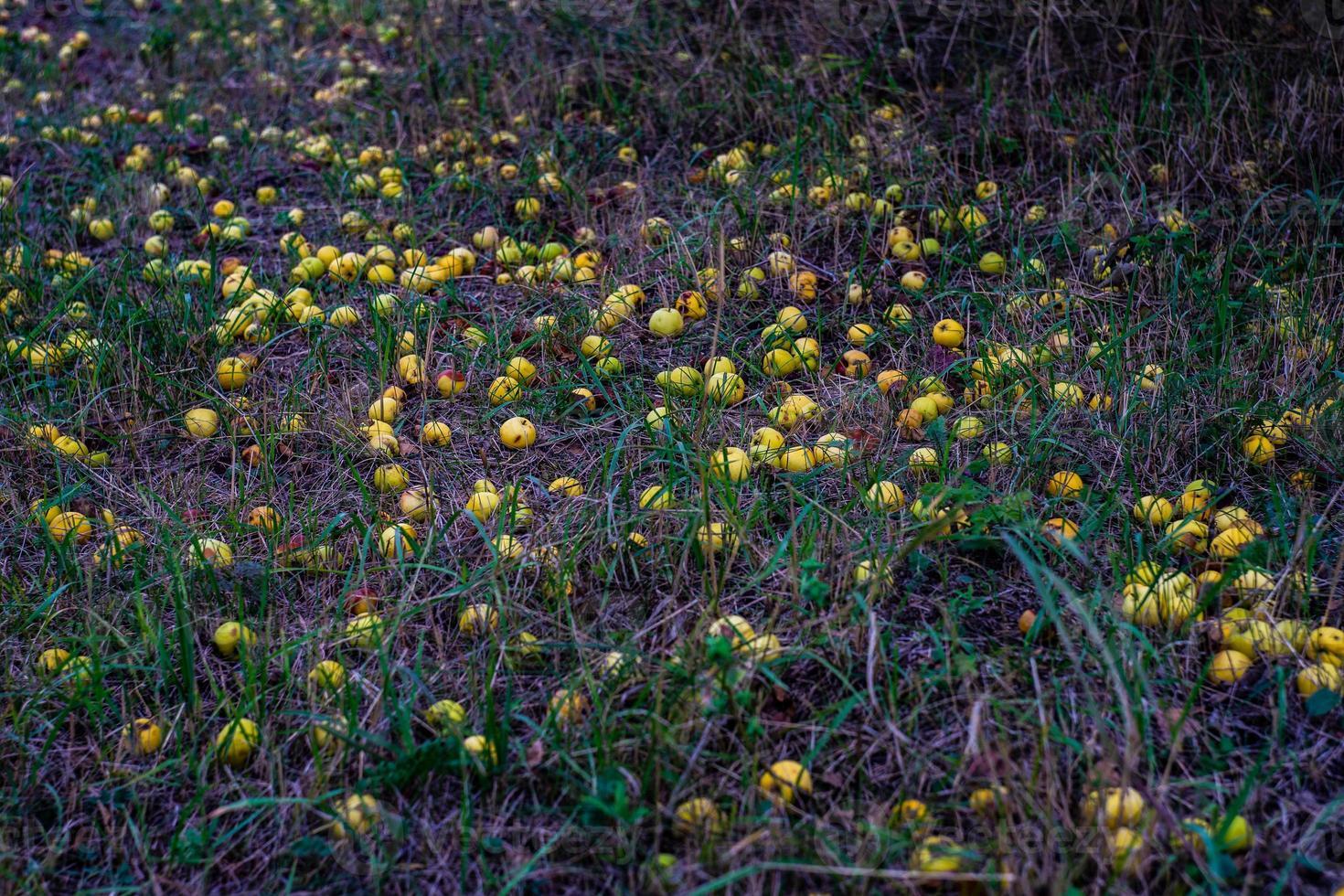 wilde appels in de natuur foto