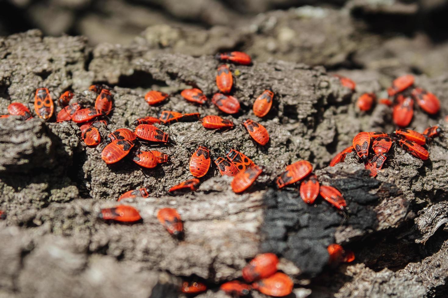 rode kevers koesteren zich in de stralen van de herfstzon. foto