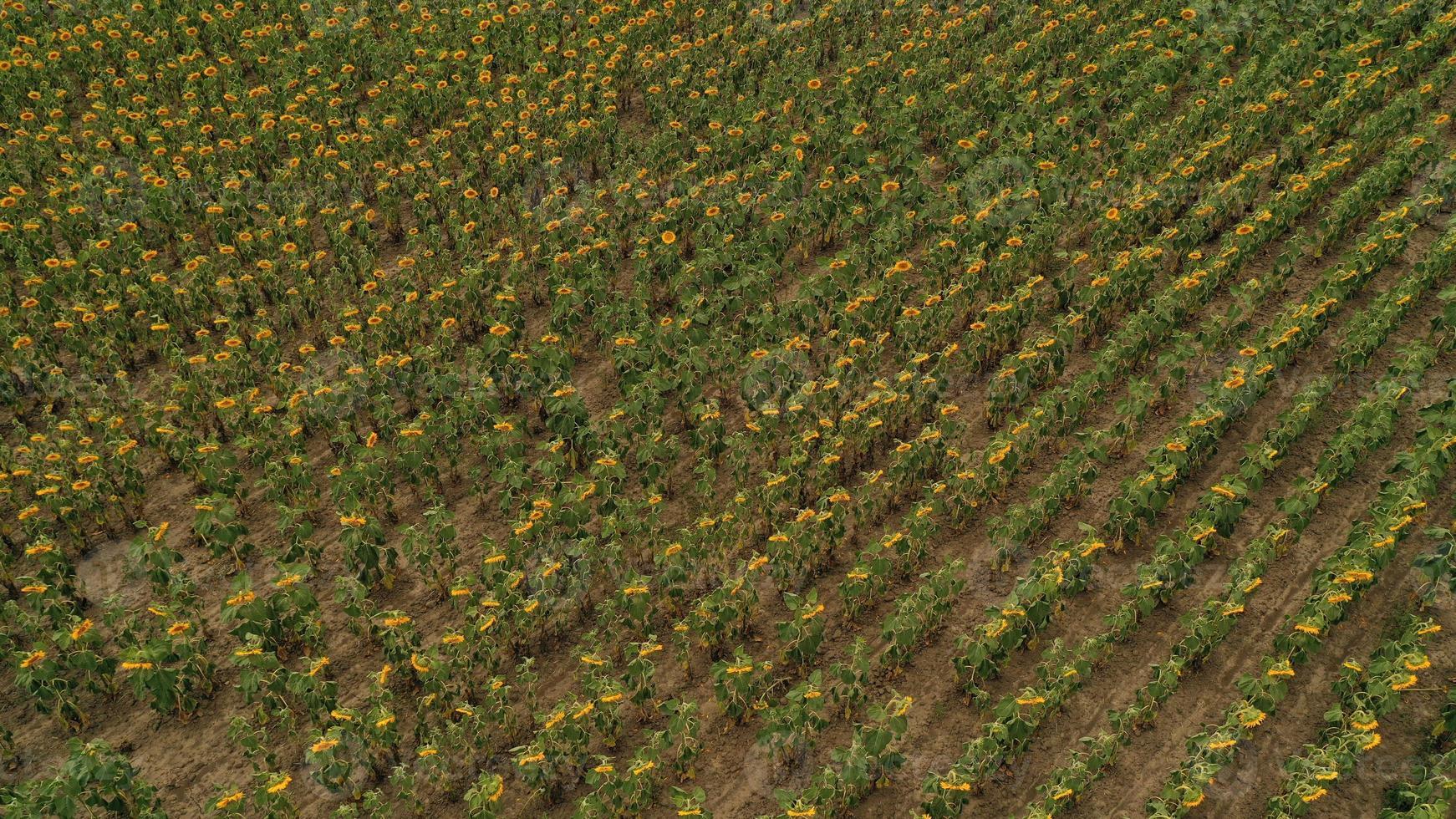 luchtfoto van een groot zonnebloemveld dat bloeit met een prachtige gouden kleur. foto