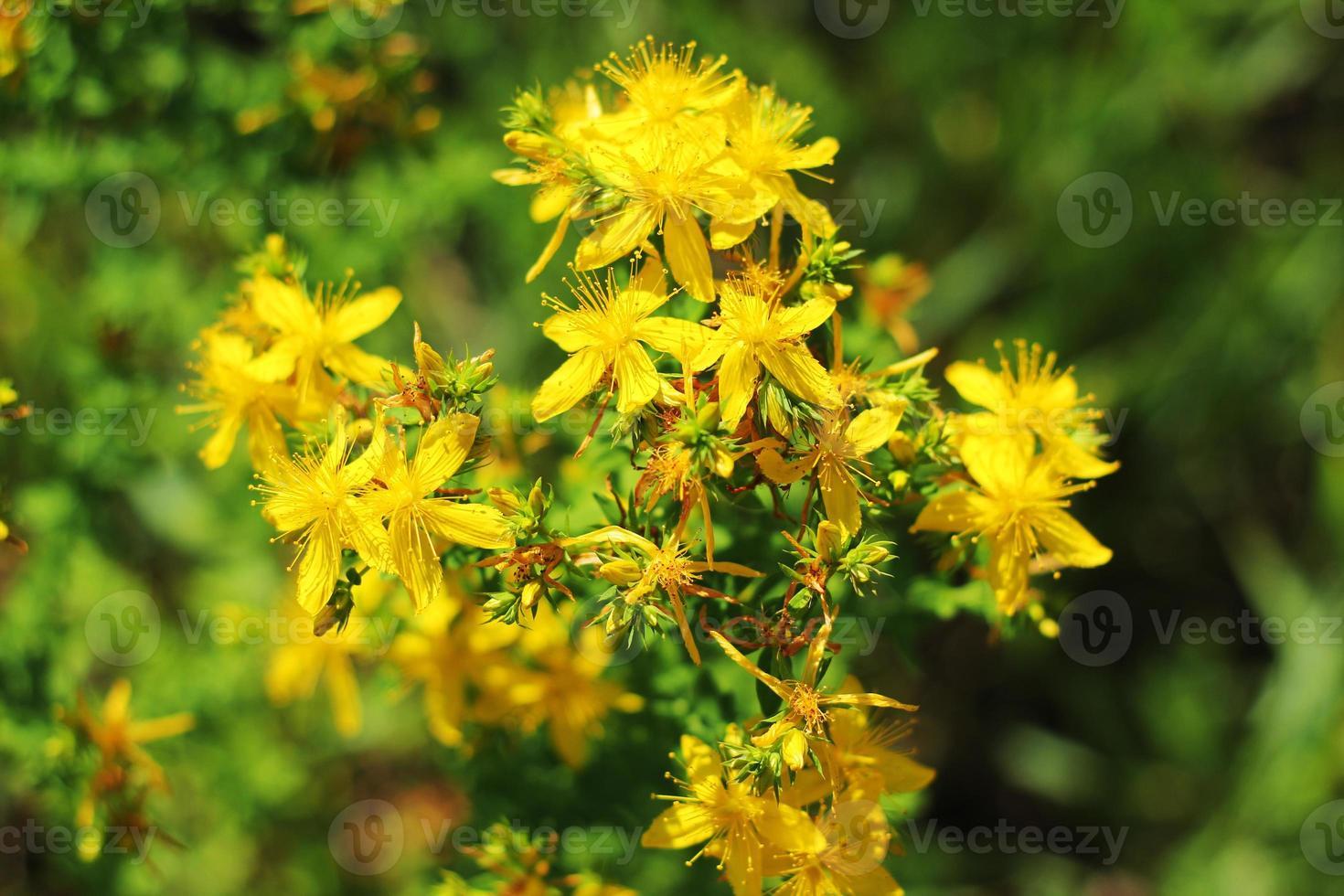 gele bloemen in de vroege zomer veld, bloembed achtergrond. gele veldbloemen. foto
