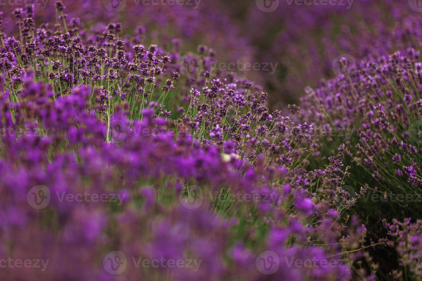 lavendelveld in de provence, bloeiende violet geurende lavendelbloemen. groeiende lavendel zwaaiend op de wind over avondrood, foto